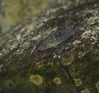 Spathodus erytrodon