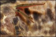 Protopterus annectens