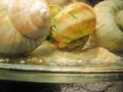 Mastacembelus moorii - narybek