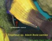 Tropheus sp. Ikola - samica przed tarłem