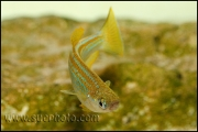 Lamprichthys tanganicanus