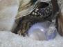 Żywe ślimaki Neothauma tanganyicense