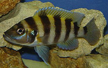 Neolamprologus Sexfasciatus Gold Tembwe 16