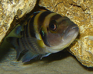 Neolamprologus Sexfasciatus Gold Tembwe 4