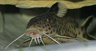 Synodontis sp. cfr. dhonti dwarf
