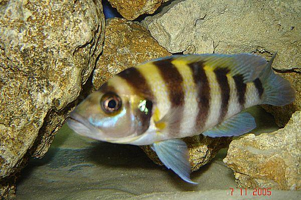 normal_Neolamprologus Sexfasciatus Gold Tembwe 1