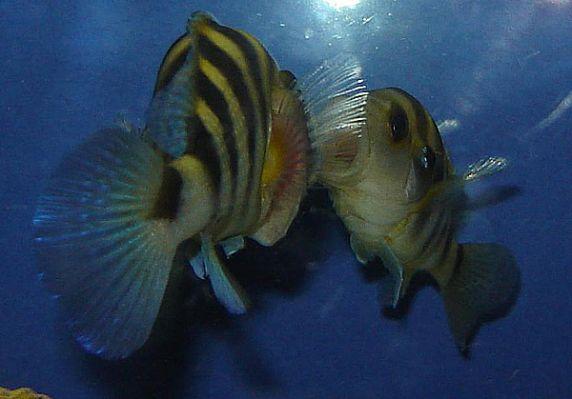 normal_Neolamprologus Sexfasciatus Gold Tembwe 10