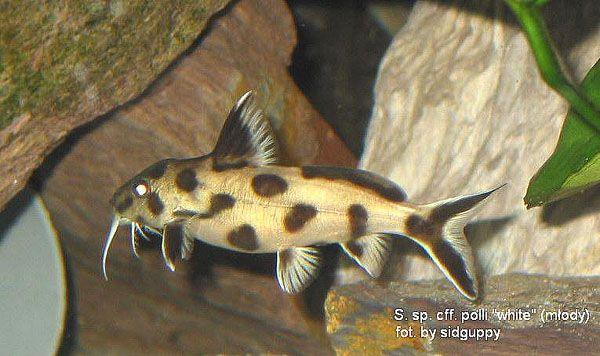 normal_S species PWZ juvenile